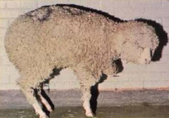 Figure 1. Sheep exhibiting hunched appearance due to pain in inflamed coronary bands.