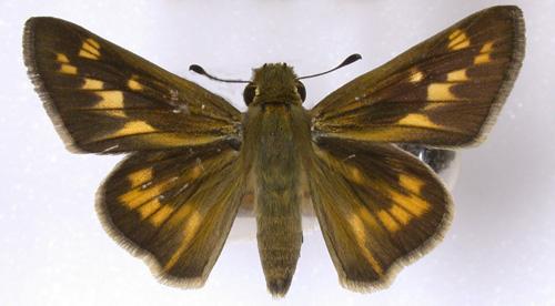 Figure 3.Female fiery skipper, Hylephila phyleus (Drury).