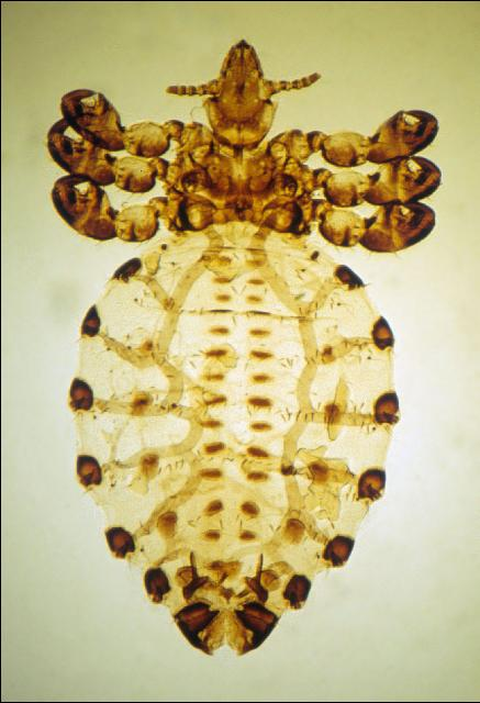 Figure 1. Cattle tail louse.