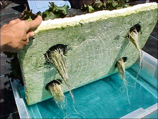 Figure 5.Hydroponic lettuce root system.