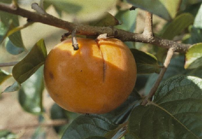 Figure 15. Stink bug on persimmon fruit.