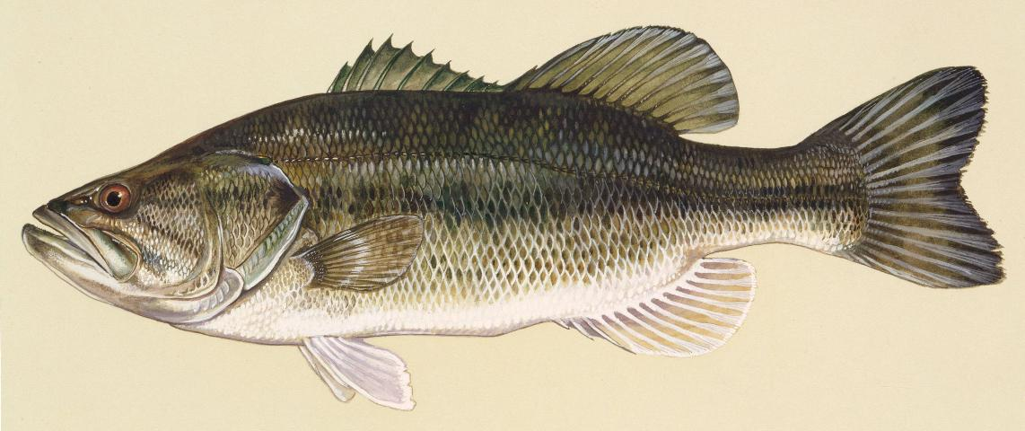 Figure 1.Largemouth bass is one of the most popular gamefish but requires large numbers of prey for good growth.