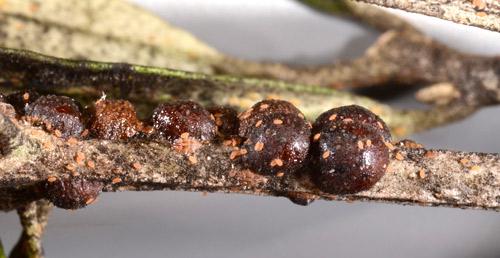 Figure 1.Adult female black scales, Saissetia oleae (Olivier) on cultivated olive (Olea europaea L.).