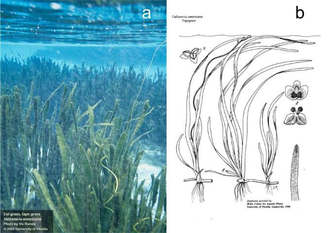 Figure 1. Tapegrass, Vallisneria americana. a) Tapegrass underwater meadow. b) Illustrations of male and female plants.