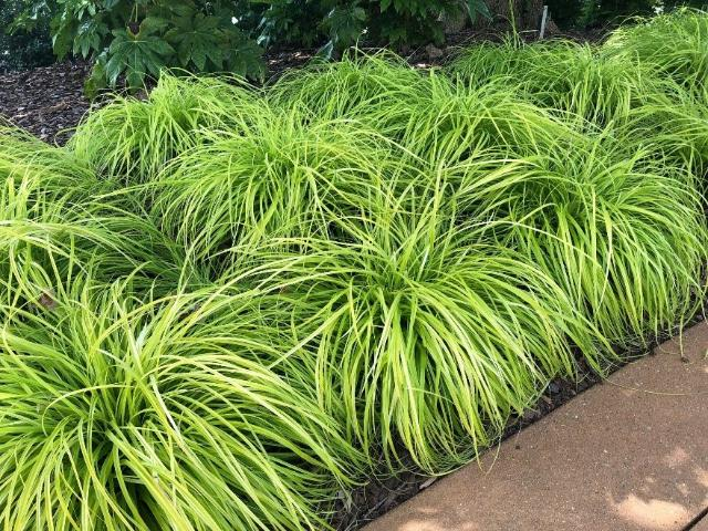 Figure 8.Evercolor Sedge showing massing as a ground cover.