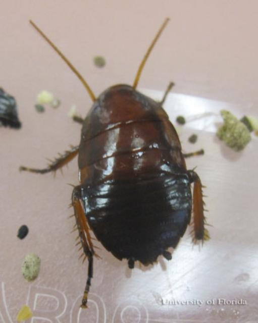 Figure 10.Nymph of the Florida woods cockroach, Eurycotis floridana (Walker), without yellow margins on the pro-, meso-, and metanota.