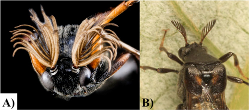 Figure 5. Male and female antennal types. A) Male, bi-flabellate antennae: note the protruding filaments from both sides of the central antennal stalk. B) Female, pectinate antennae: note that the filaments protrude only from 1 side of the central antennal stalk.