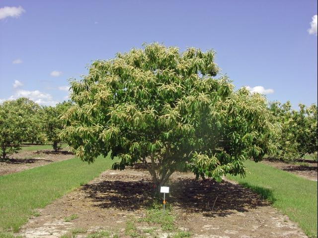 Figure 1.American x Chinese hybrid chestnut tree.