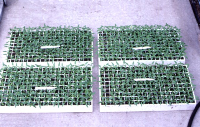 Figure 5.Transplants growing in peat-mix media for transplanting to peat-mix bag systems or trough systems.