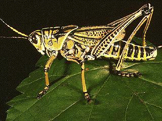 Figure 7.Southern lubber grasshopper, Romalea guttata (Houttuyn).