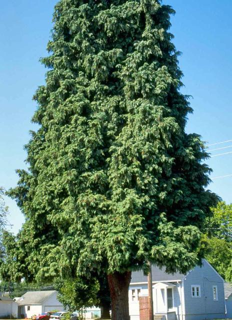 Figure 1. Middle-aged Calocedrus decurrens: California Incense-Cedar.