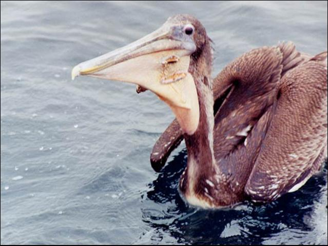 Figure 1.A young Brown Pelican with two holes torn in its throat pouch from fishing hooks. Feeding water birds such as pelicans can actually lead to the death of the birds.