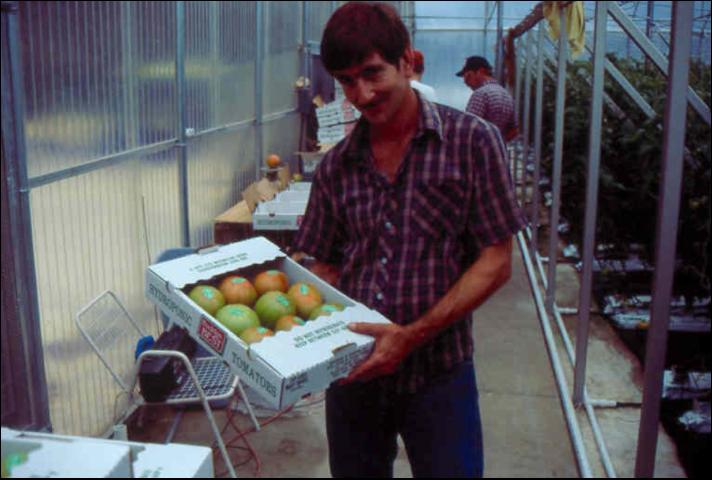 Figure 2.Greenhouse beefsteak tomatoes packed for shipment to market.