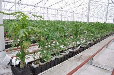 Figure 15.Planta de papaya o fruta bomba en un invernadero con tomates. La papaya es planta hospedera para especies de mosca blanca que no atacan a cultivos hortícolas. Algunos parasitoides de mosca blanca se establecen en la papaya y están disponibles para parasitar a la mosca blanca de la hoja plateada (Bemisia tabaci) la cual si ataca al tomate. Créditos: Hugh Smith