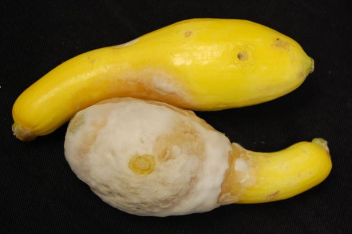 Figure 7.Fruit rot of yellow summer squash caused by Phytophthora capsici.