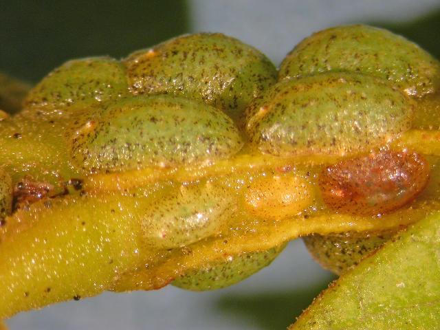Figure 18.The croton scale, Phalacroccus howertoni on a leaf petiole. Identification by I. Stocks, 16 Nov. 2011.