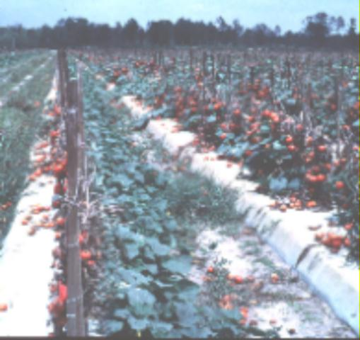 Figure 5.Second-crop cucumbers following tomato.