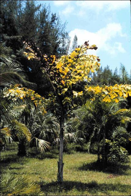 Figure 7.Foliar yellowing symptoms of Lethal Yellowing on Caryota rumphiana.