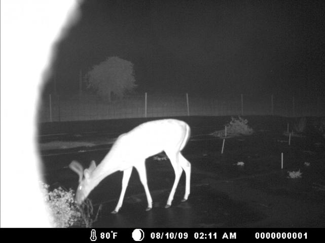 Figure 2.Most deer browsing of wildflowers occurred at night.