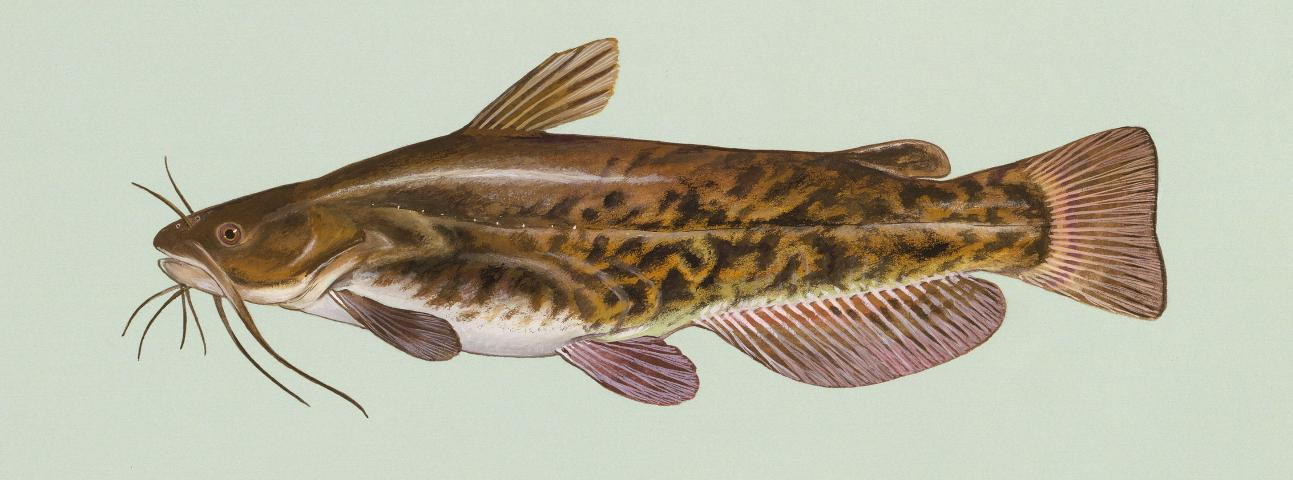 Figure 7.Brown bullheads muddy the water and often become stunted from overpopulation.