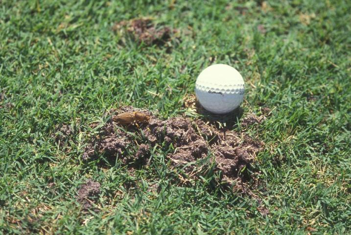 Figure 14.Mole cricket damage.