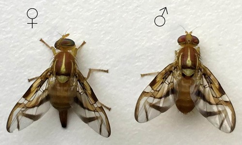 Figure 7.Female (left) and male (right) of Anastrepha fraterculus (Wiedemann). Both specimens are from the Brazilian-1 morphotype.