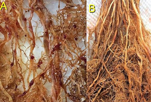 Figure 13. On rice roots (A) female grass root-knot nematode, Meloidogyne graminis Whitehead, can be observed protruding from the roots. The egg masses are on the outside of the roots (nematode egg masses have been stained dark red for observation). On limpograss (B) female Meloidogyne graminis females and egg masses remain inside the roots and are difficult to observe.
