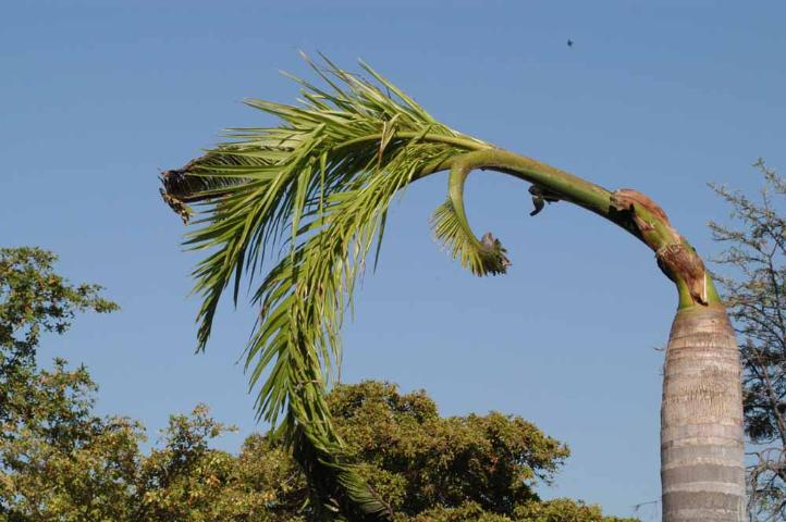 Figure 6. Severe boron deficiency in royal palm