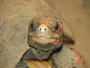 Figure 5. Red footed tortoise.