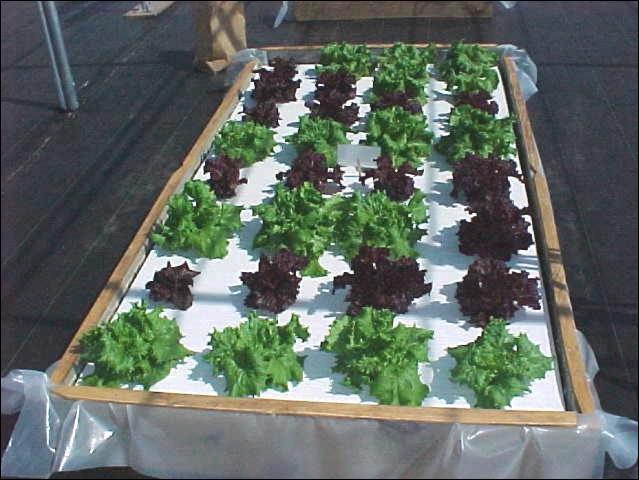Figure 6.Healthy lettuce being grown in a standard 4x8 ft floating garden.