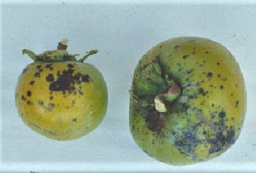 Figure 18. Anthracnose on persimmon fruit.