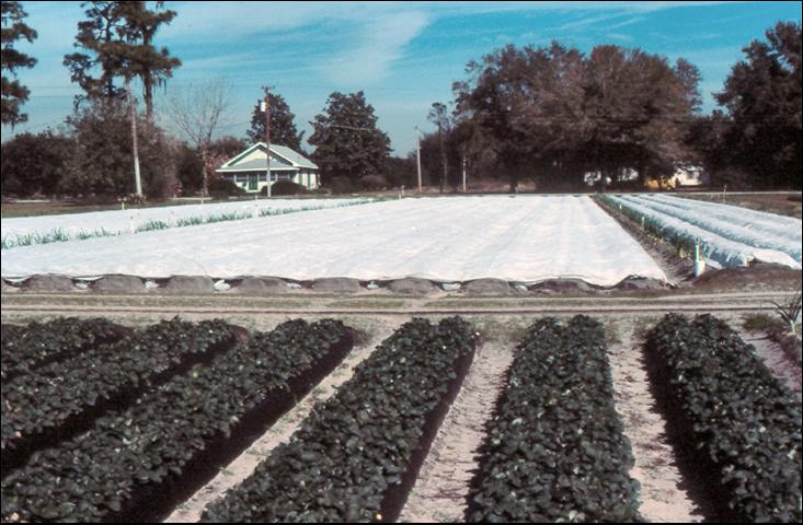 Figure 24.Floating row covers on strawberries in freeze.