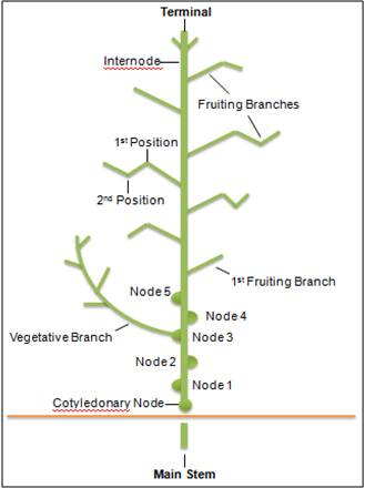 Figure 1.A cotton plant's structure is characterized by a main stem containing nodes and internodes. Two types of branches, vegetative and fruiting, are also present.