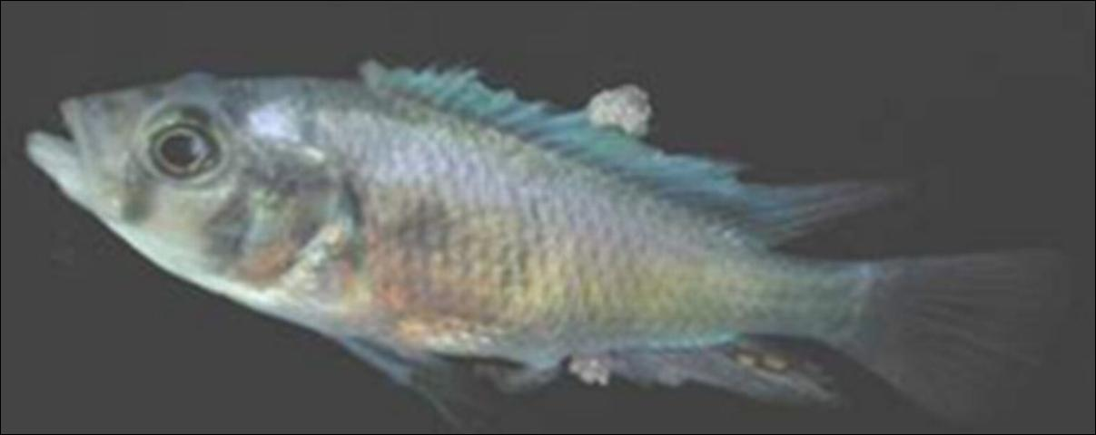 Figure 1. African cichlid with lymphocystis nodules on fins.