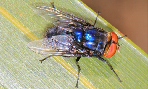 Figure 1.Adult screwworm, Cochliomyia hominivorax(Coquerel). Note the dark stripes across the backline (thorax) of the fly behind the head.