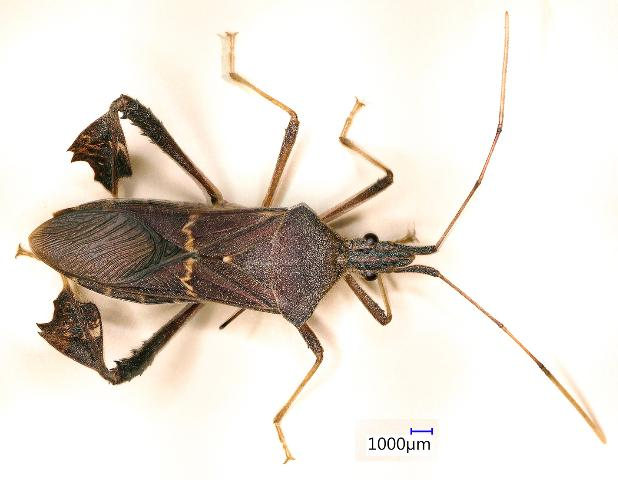 Figure 10.Leptoglossus concolor, a leaffooted bug. Identification by S. Halbert, 3 Nov. 2015.