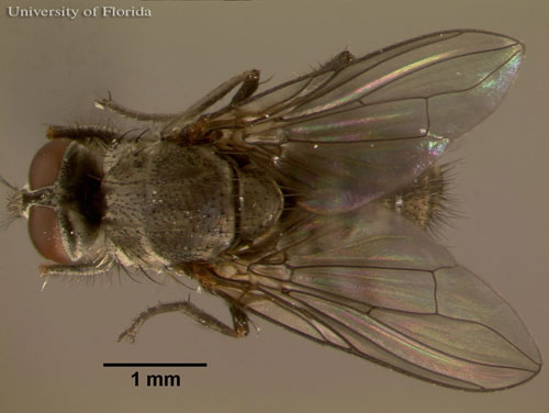 Figure 1. Dorsal view of an adult horn fly, Haematobia irritans irritans (Linnaeus).
