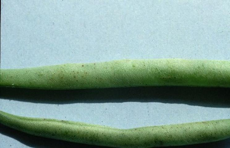 Figure 1.Tiny, black specs associated with light infection of snap bean pods by Alternaria alternata.