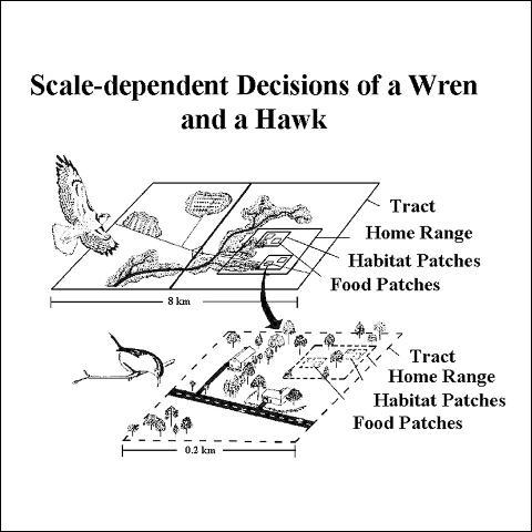 Figure 3.This is a theoretical representation of a Carolina Wren and a Red-tailed Hawk responding to landscape structures as they search for habitat. The wren searches a tract of land to establish a home range. At the next scale, the wren searches its home range for suitable habitat patches for nesting or foraging for food. Then, within these habitat patches, the wren locates areas where food items (e.g., insects) are abundant. At the smallest scale, the wren searches for food in those habitat patches where food items are abundant. The hawk has a similar set of decisions, but it selects much larger areas and objects at each comparable scale. Notice that the only overlap in scales is at the food patch level for the hawk and at the tract level for the wren.
