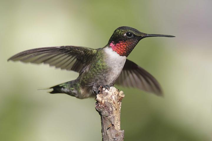 Figure 1.Ruby-throated hummingbird.