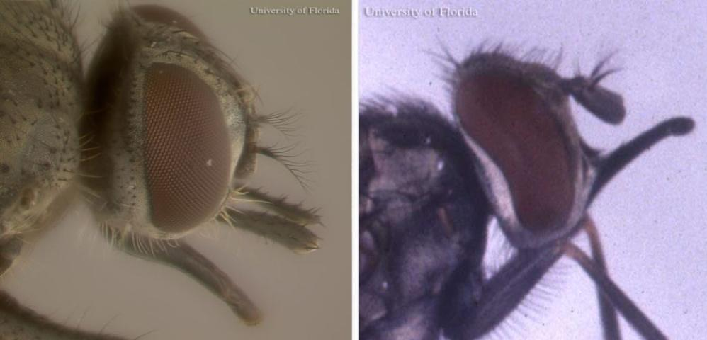 Figure 3. Side views of horn fly, Haematobia irritans irritans (Linnaeus) (left); and stable fly, Stomoxys calcitrans (Linnaeus) (right). The maxillary palpi of the horn fly are nearly as long as its proboscis, whereas the stable fly's palpi are considerably shorter than its proboscis.