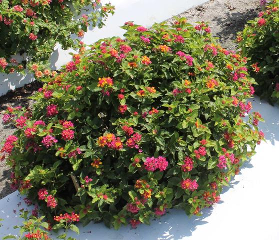 Figure 3.Plants of 'Bloomify Rose' lantana propagated by cuttings, grown in containers for 95 days, and grown outdoors in the ground bed for 124 days.