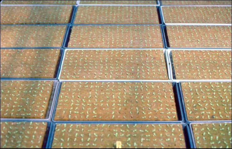 Figure 11.Rockwool seedling cubes with seedlings.