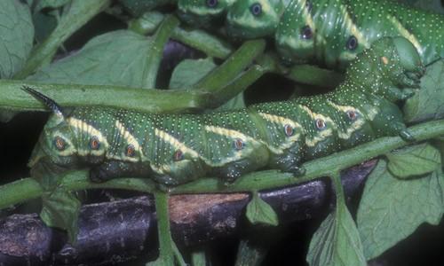 Figure 1.Late instar larva of the tomato hornworm,Manduca quinquemaculata (Haworth).