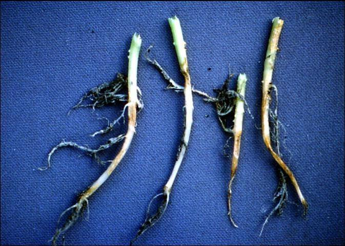 Figure 1.Stem lesions at the soil line and root rot caused by Phytophthora capsici in pepper.