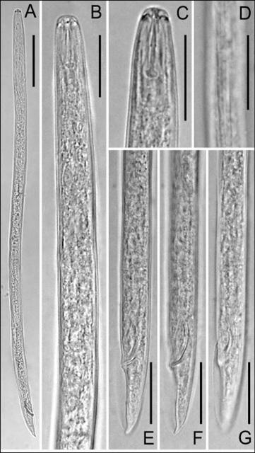 Figure 4. Light micrographs of male of Pratylenchus hippeastri. A: Entire body; B: Pharyngeal region; C: Anterior end; D: Lateral field at mid-body; E-G: Tail region at different foci. Adapted from De Luca et al., 2011.