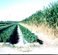 Figure 9.Sugarcane windbreaks provide wind protection in south Florida.