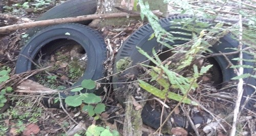 Figure 2.In addition to serving as a potential method of transport, tires that are discarded and left in the environment collect water, providing developmental habitat for container-inhabiting species like Aedes japonicas (Theobald).