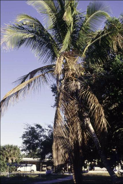 Figure 5.'Maypan' Cocos nucifera with Lethal Yellowing exhibiting discoloration of leaves (grayish-brown rather than yellow).