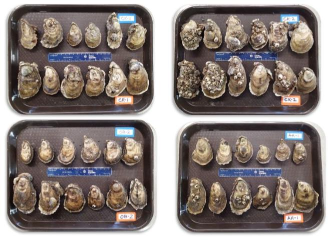 Figure 1.Diploid and triploid oysters harvested after eight months of growout in off-bottom gear at commercial farms along the west coast of Florida (CK=Cedar Key, OB=Oyster Bay, AH=Alligator Harbor). Oysters on the top of each tray are diploids (blue tags) while oysters on the bottom of each tray are triploids (orange tags).